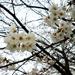 桜、お花見特集